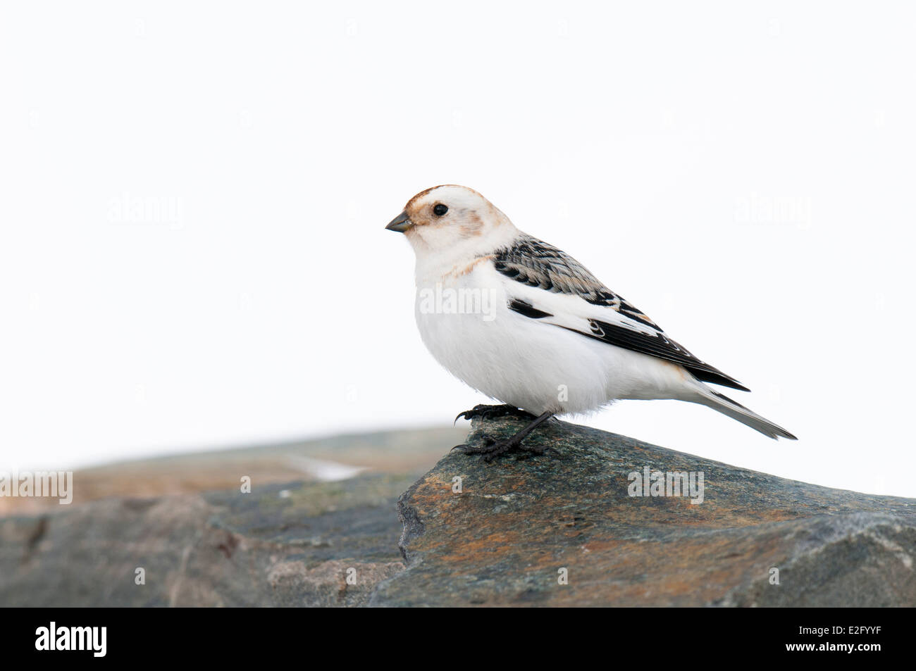 Snow bunting (Plectrophenax nivalis) adult male in winter plumag, perched on a stone wall near the ski centre on Stock Photo