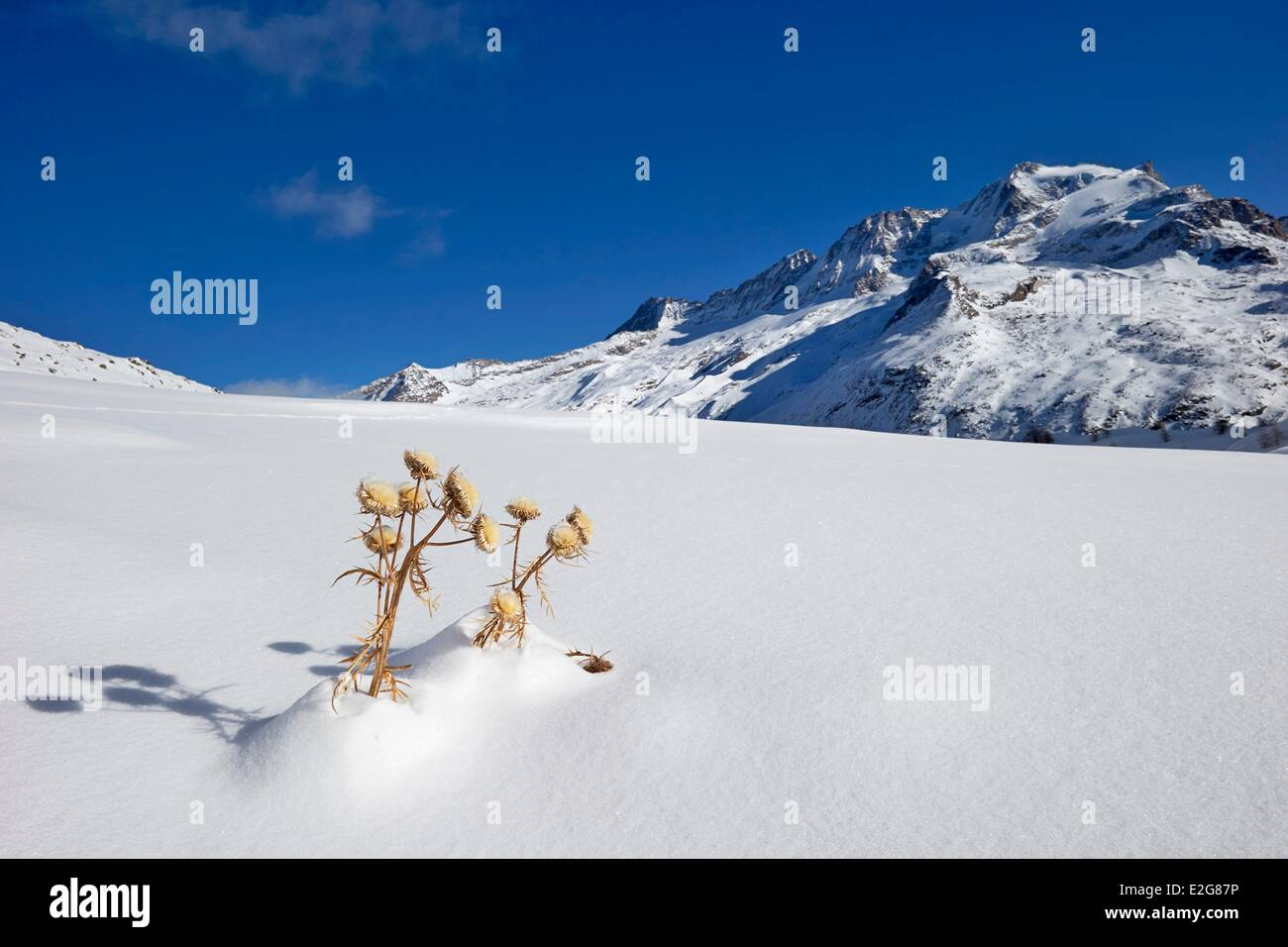 Italy Aosta valley Gran Paradiso carline acanthus leaves in winter in Val Savarenche - Stock Image