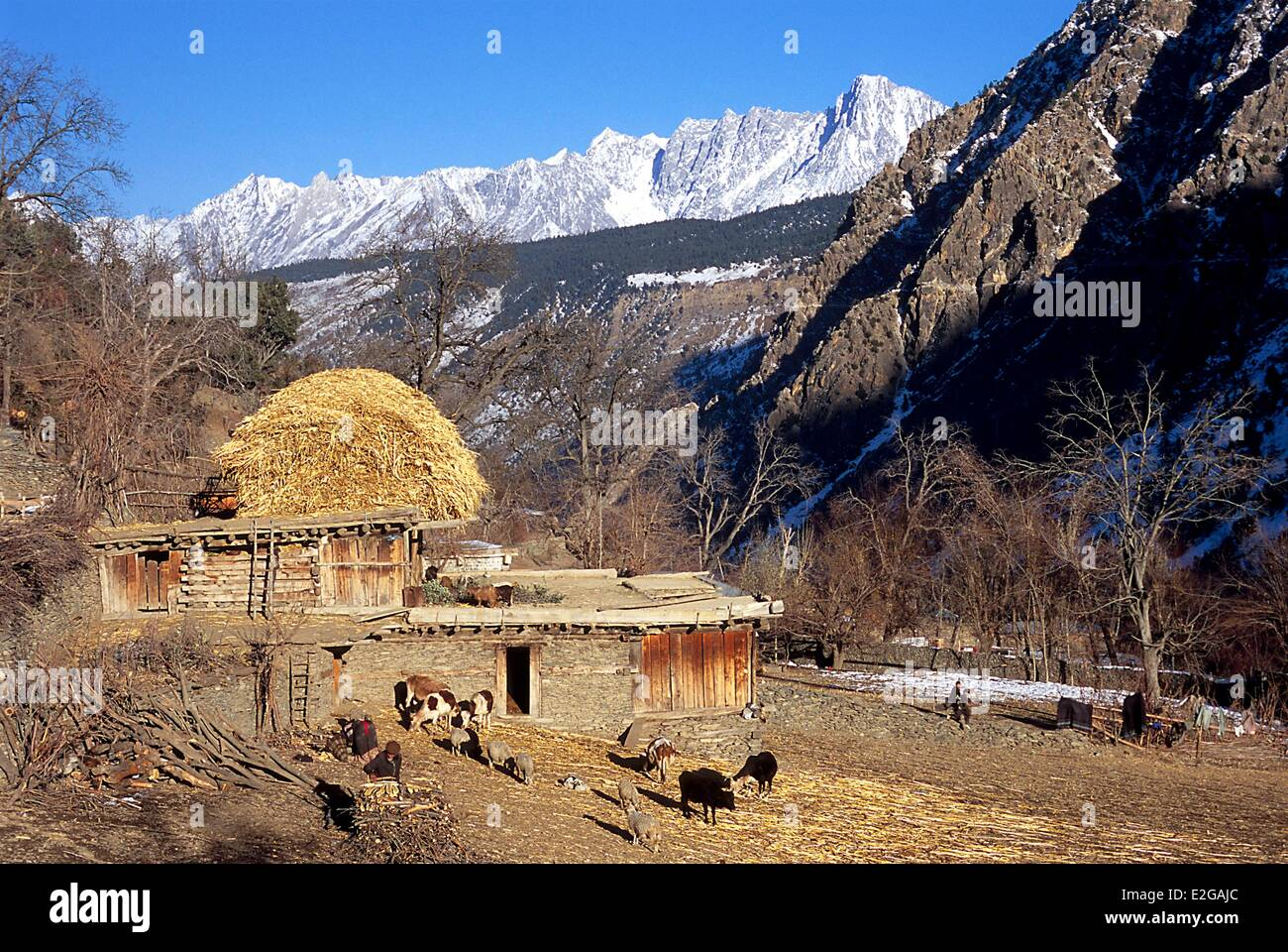 Pakistan Khyber Pakhtunkhwa Kalash valleys Bumburet valley downstream cowshed of the Krakal village (2 150 m) - Stock Image