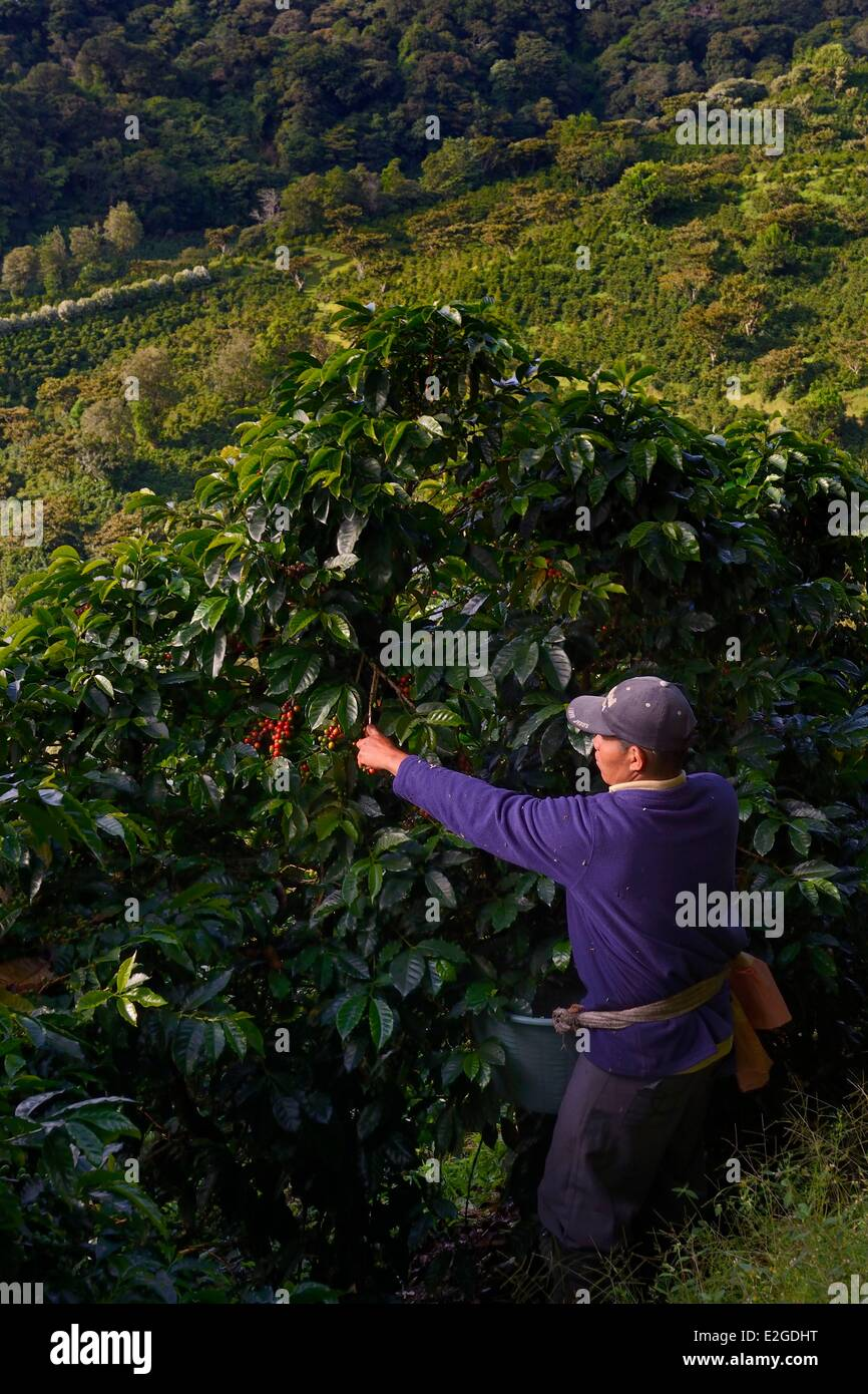 Panama Chiriqui province Boquete Coffee Plantation Finca Lerida coffee beans harvesting on slopes of Volcan Baru - Stock Image