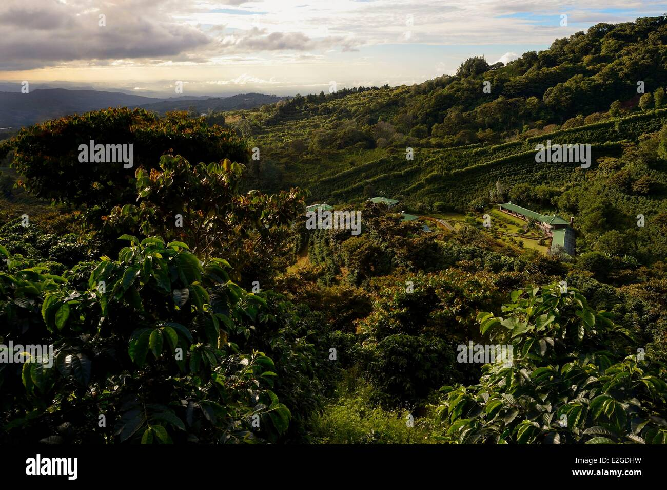 Panama Chiriqui province Boquete Coffee Plantation Finca Lerida on slopes of Volcan Baru hotel Stock Photo