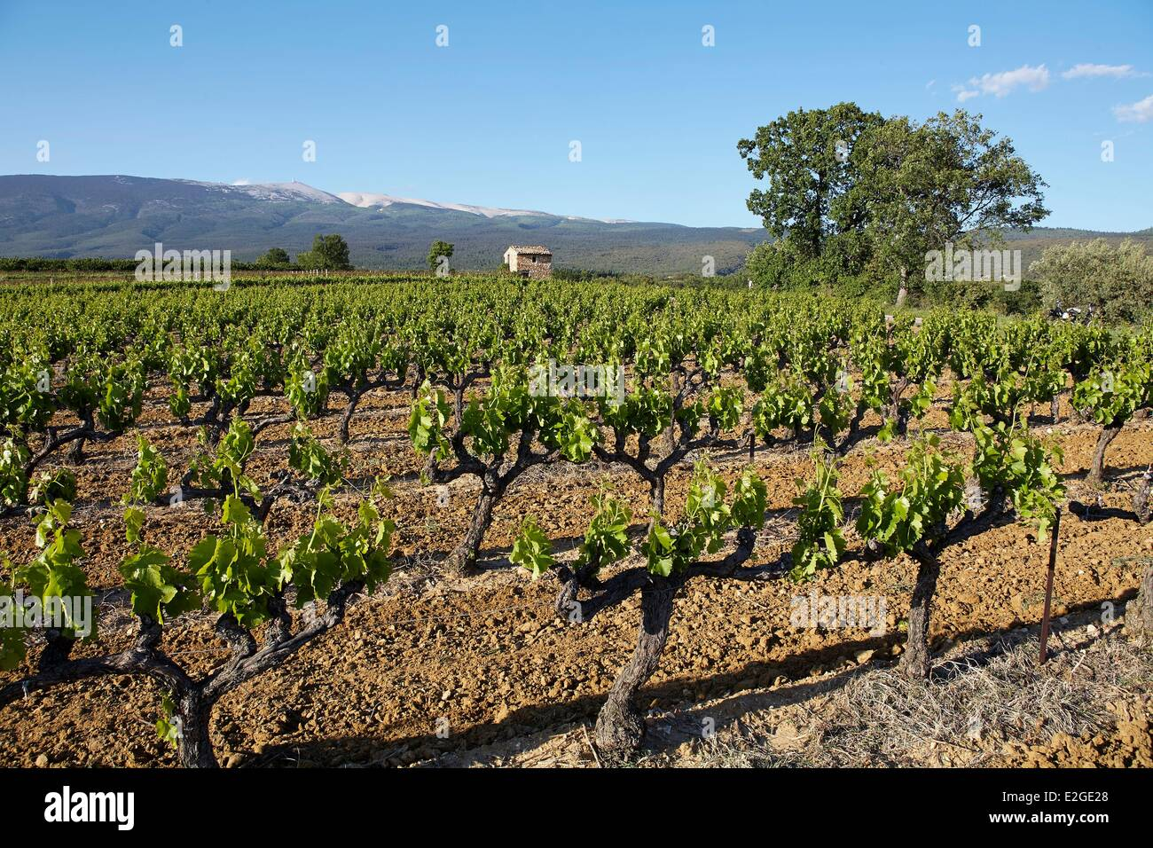 France Vaucluse Flassan Gaps Vineyard and Mont Ventoux in background - Stock Image