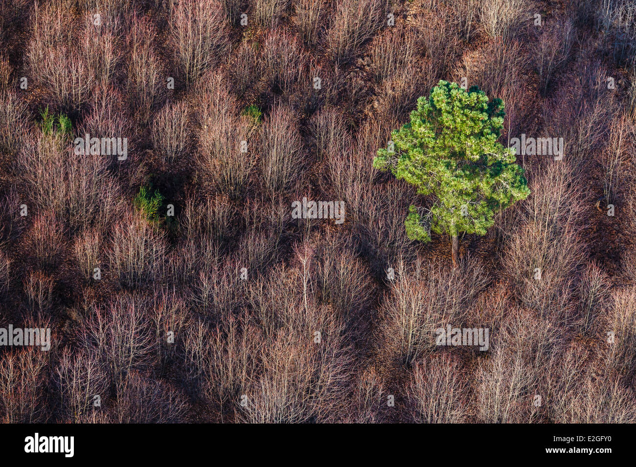 France Vendee Maille Bourneau maritime pine tree surrounded by deciduous trees in winter (aerial view) - Stock Image