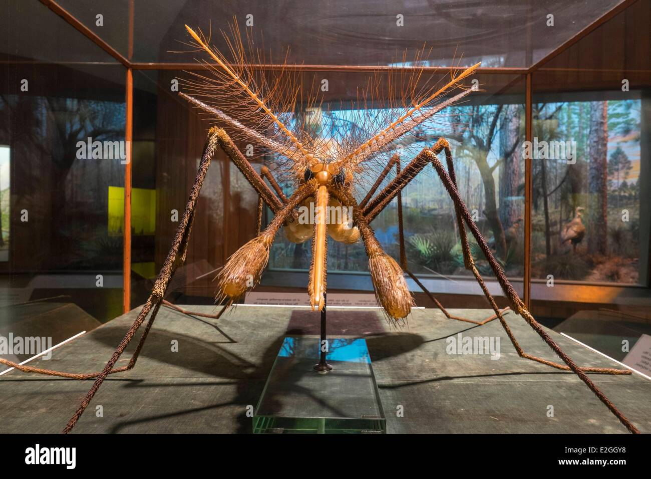 United States New York Manhattan Upper West Side American Museum of Natural History mosquito that causes malaria - Stock Image