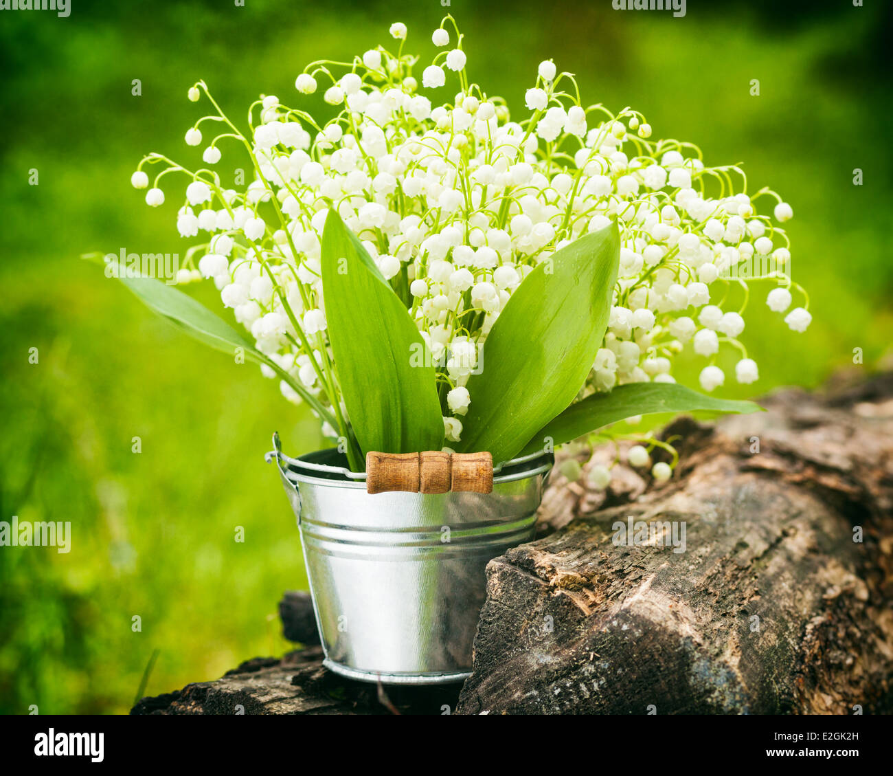 Wild spring lily of the valley flowers in bucket in forest stock wild spring lily of the valley flowers in bucket in forest izmirmasajfo