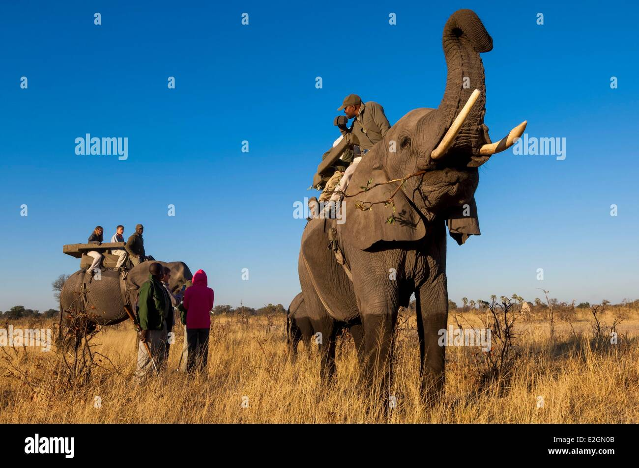 Botswana North West District Okavango Delta Abu Lodge safari on elephant back - Stock Image