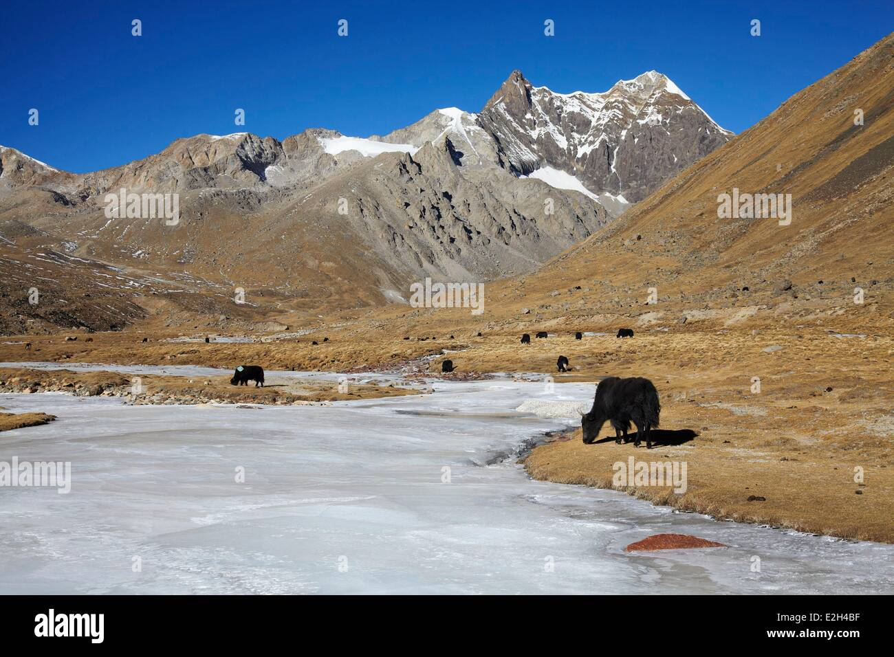 China Tibet yaks on Shogula pass (5300m) on Lhasa to Shigatze road - Stock Image