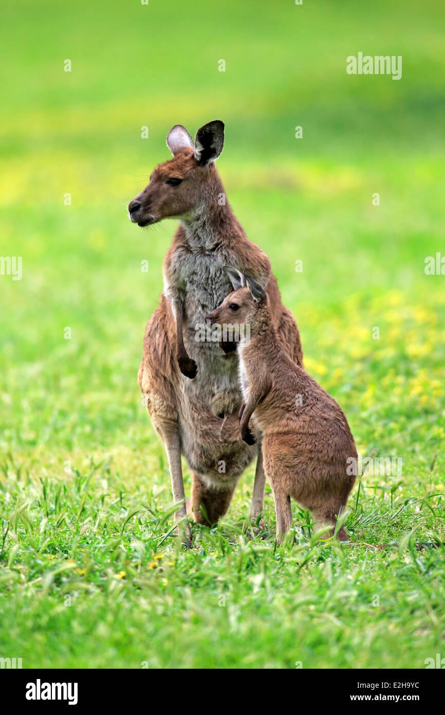 Kangaroo Island Kangaroos (Macropus fuliginosus fuliginosus), female with joey, South Australia, Australia Stock Photo