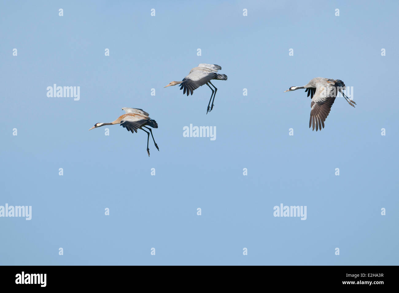 Common Cranes (Grus grus), two adult birds and a young bird, about to land, Mecklenburg-Western Pomerania, Germany - Stock Image
