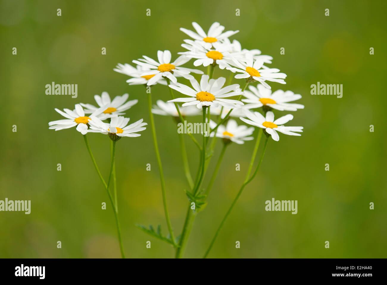Ox-eye Daisies (Leucanthemum vulgare), flowers, Thuringia, Germany Stock Photo