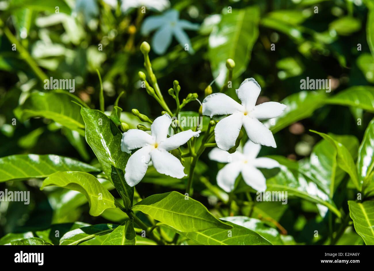 India wild white flowers stock photos india wild white flowers pinwheel flowers tabernaemontana divaricata white flowers tamil nadu india stock mightylinksfo