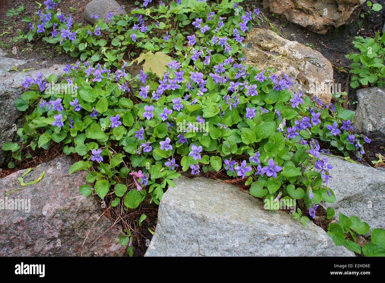Violet flowers blooming on the rocks Viola riviniana - Stock Image