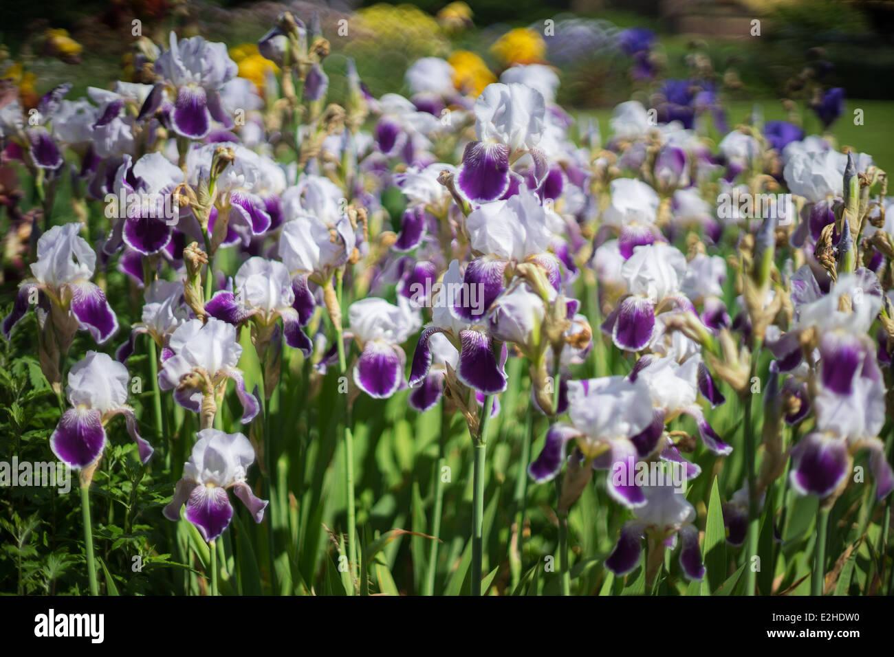 Cluster blooming multicolor iris flowers stock photos cluster cluster of blooming multicolor iris flowers stock image izmirmasajfo