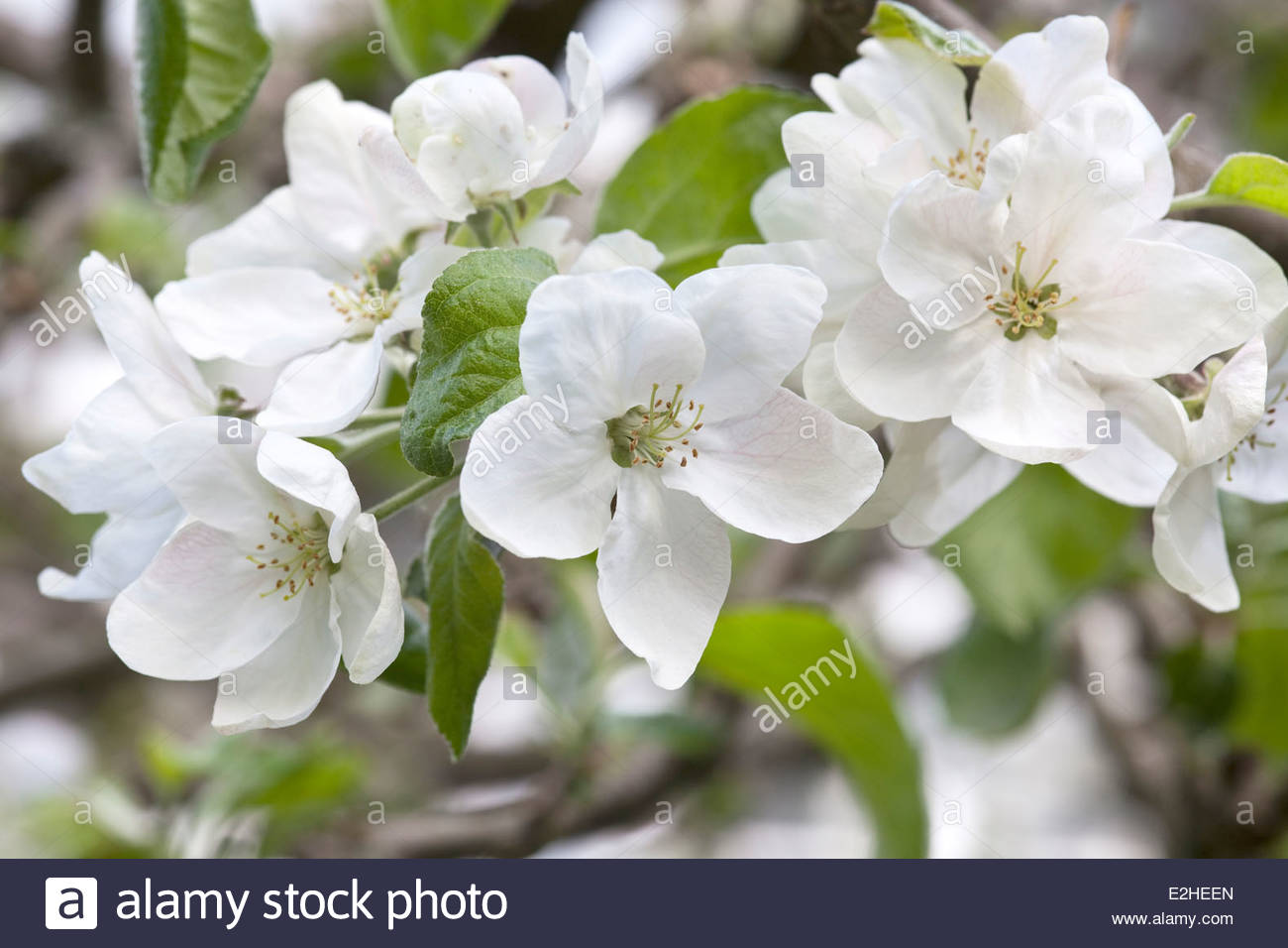 White flowers of an apple tree - Stock Image