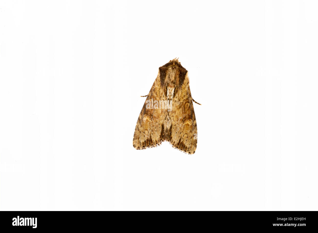 Clouded- Borderd Brindle-Apamea crenata on white background - Stock Image