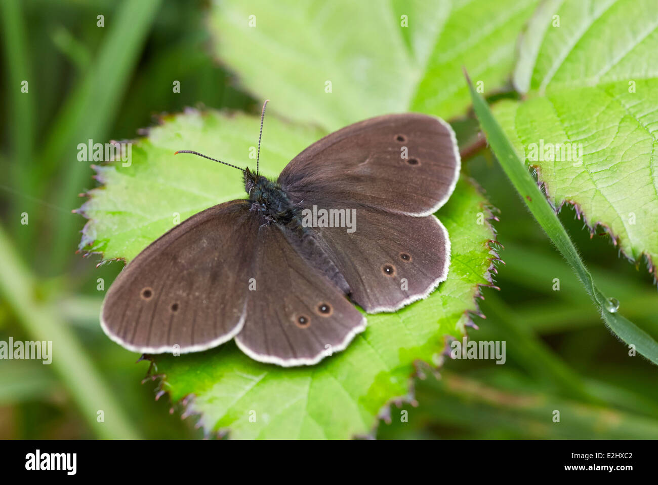 Ringlet butterfly. Bookham Common, Surrey, England. - Stock Image
