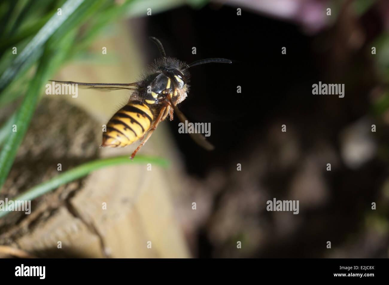 Common wasp, Vespula vulgaris. - Stock Image