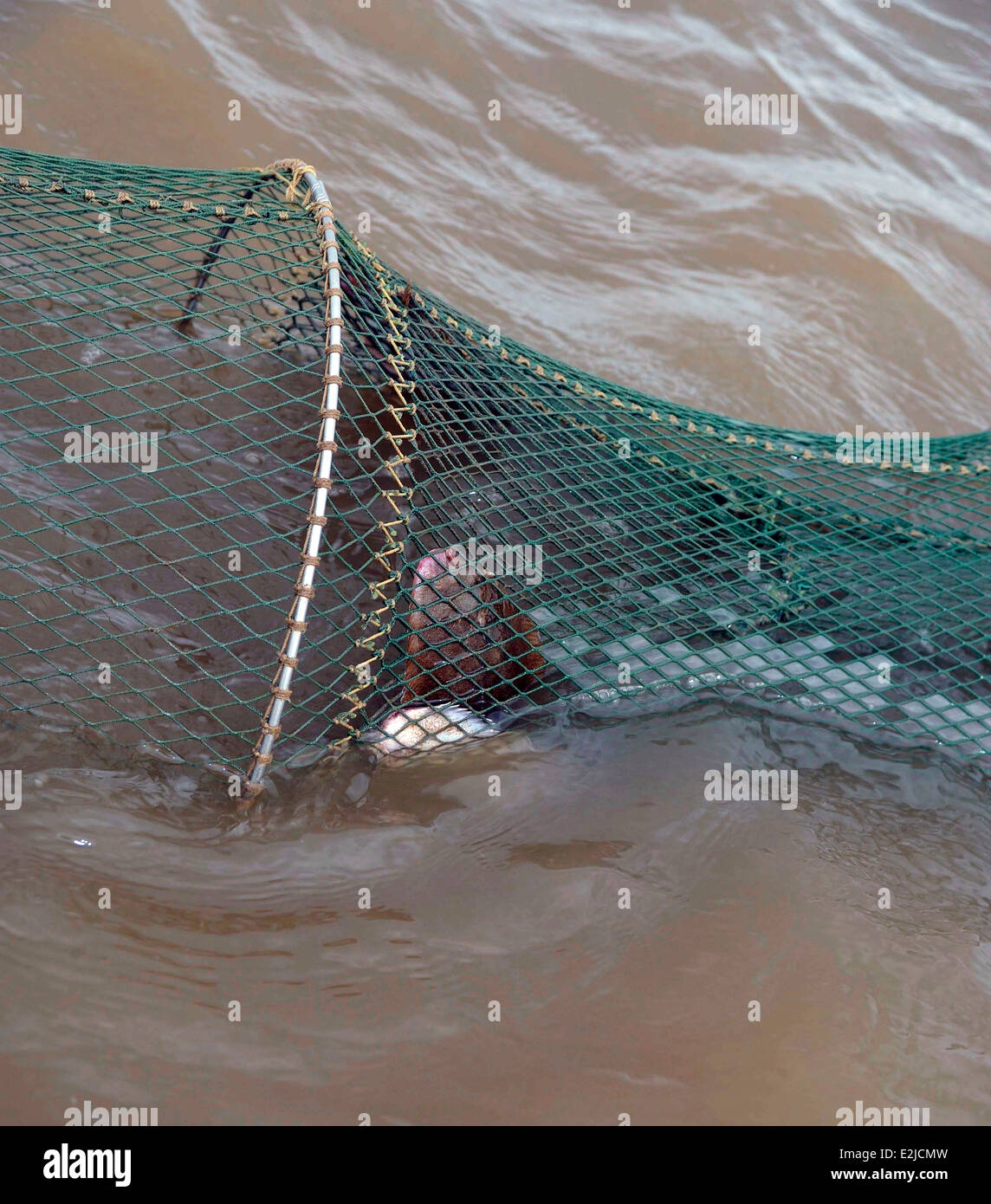 FYKE NETTING  FOR SOLES. NET SHOWING ABOVE WATER AND SOLES CAN BE SEEN IN NET. - Stock Image