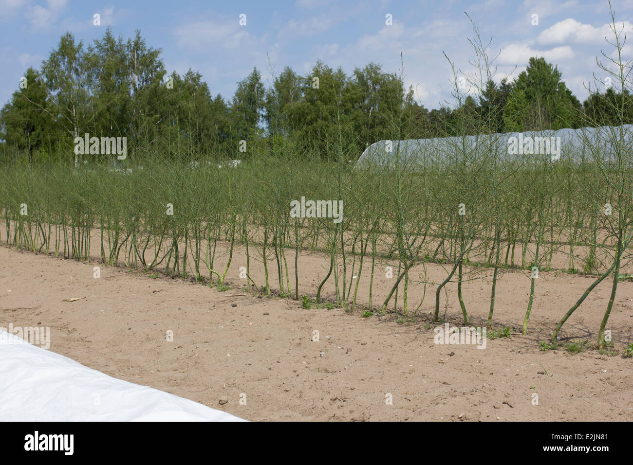 A field of organic green asparagus plants growing at Lilla Bjers farm in Gotland, Sweden Stock Photo
