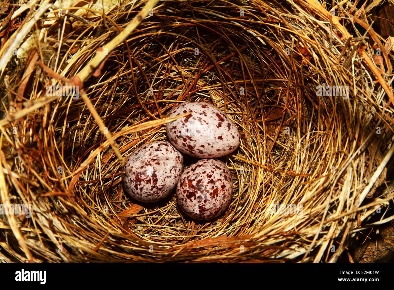 Songbird nest with three eggs - Stock Image
