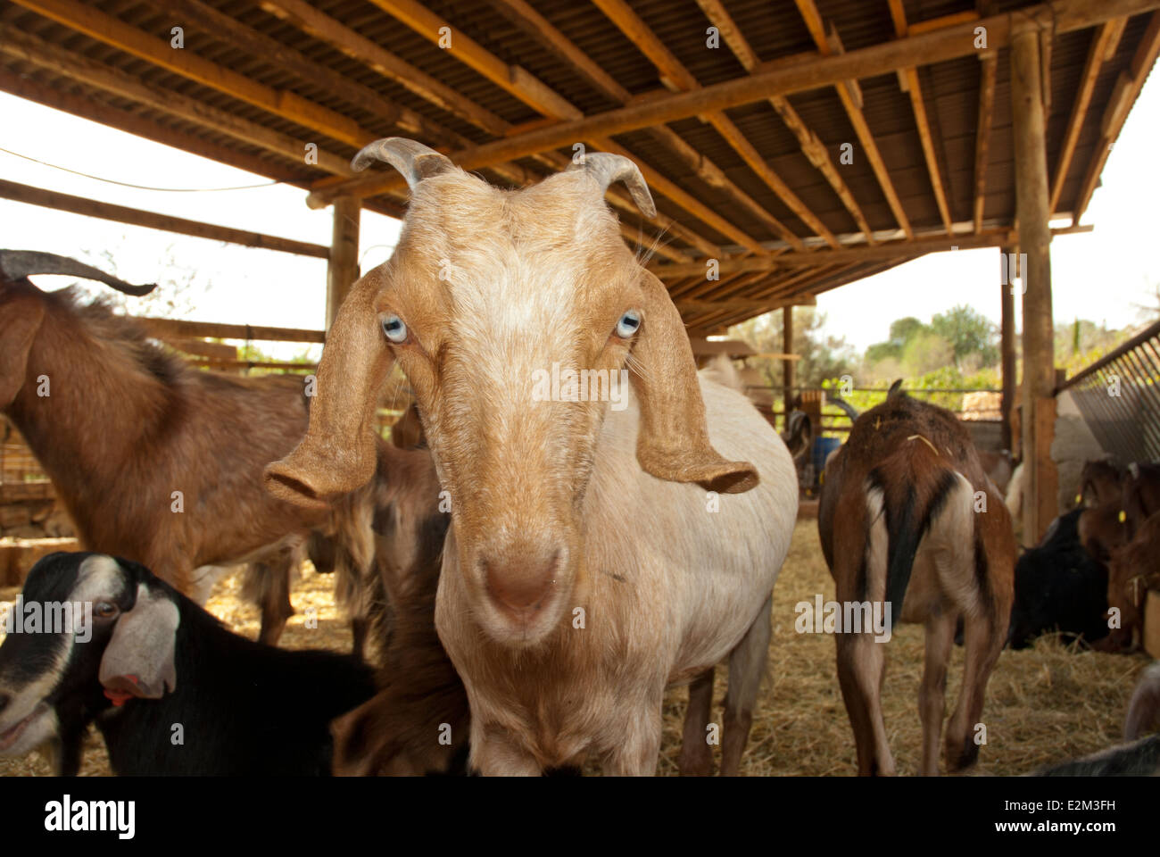 Goat in a shed - Stock Image