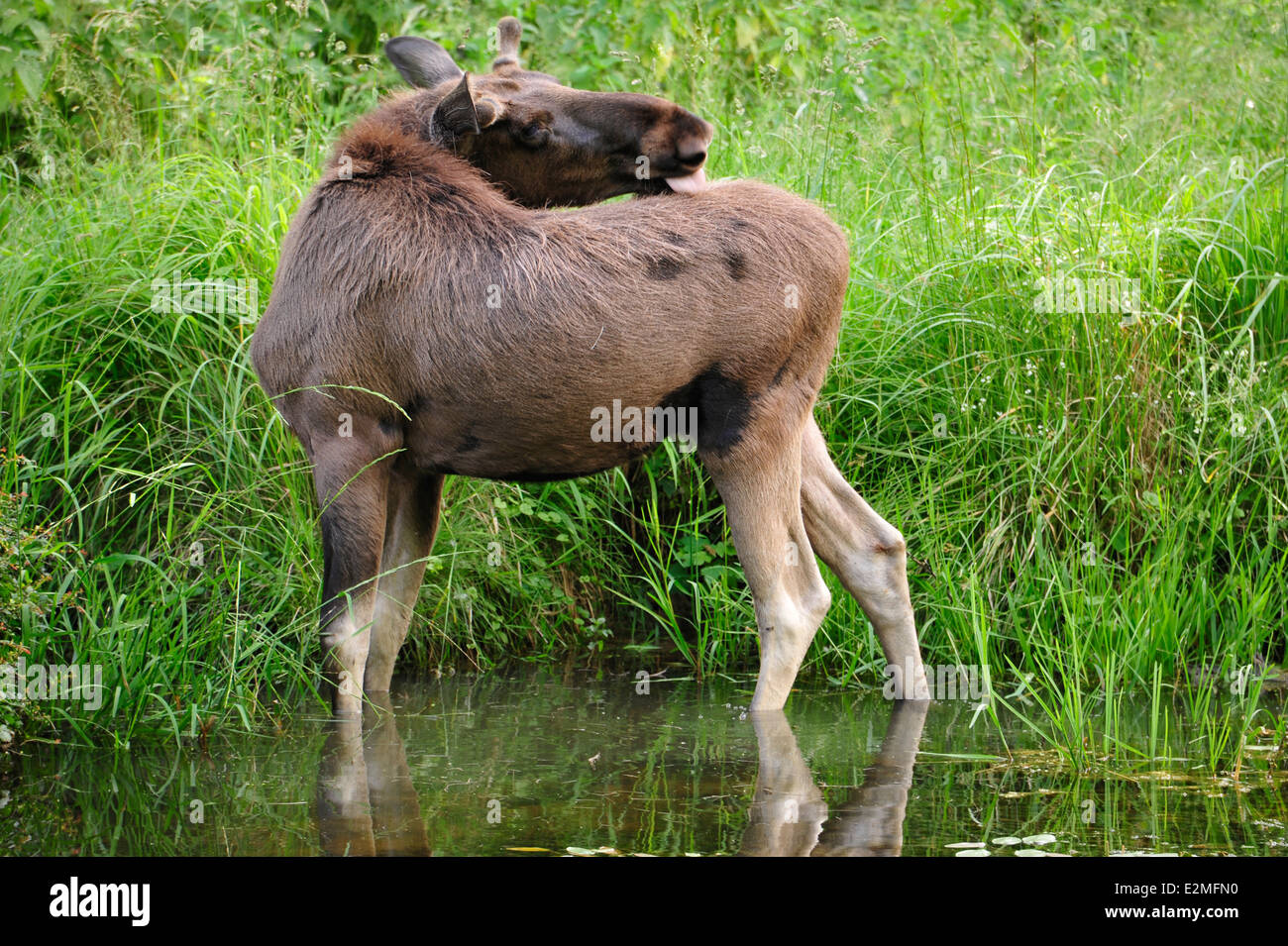 Eurasian elk - photo#42