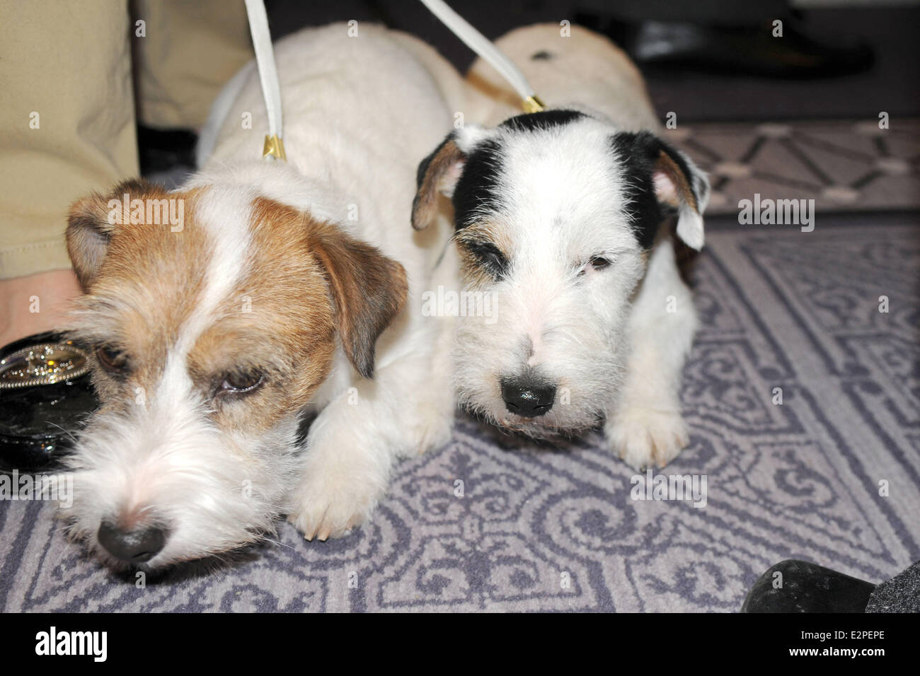 The Westminster Kennel Club 137th Annual Dog Show - Press Conference at Affinia  Featuring: Legs,Turbo both Russell Stock Photo