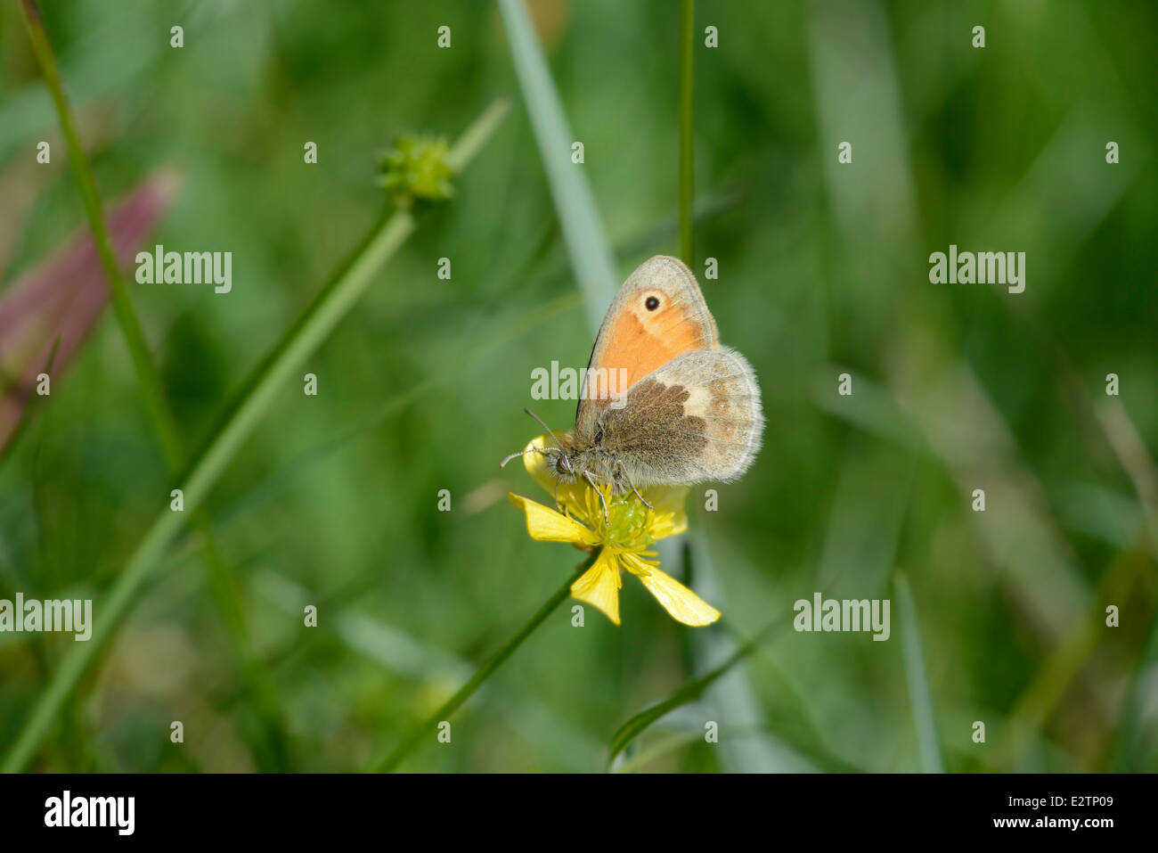 Small heath (Coenonympha pamphilus). Adult butterfly on a buttercup. - Stock Image