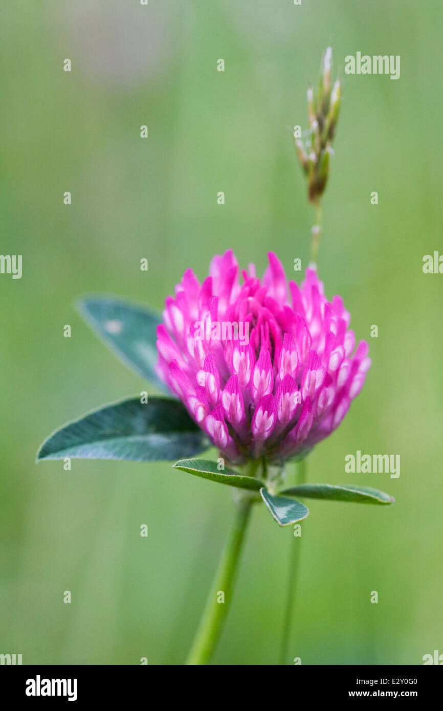 Trifolium pratense. Red clover in a wildflower meadow. Stock Photo