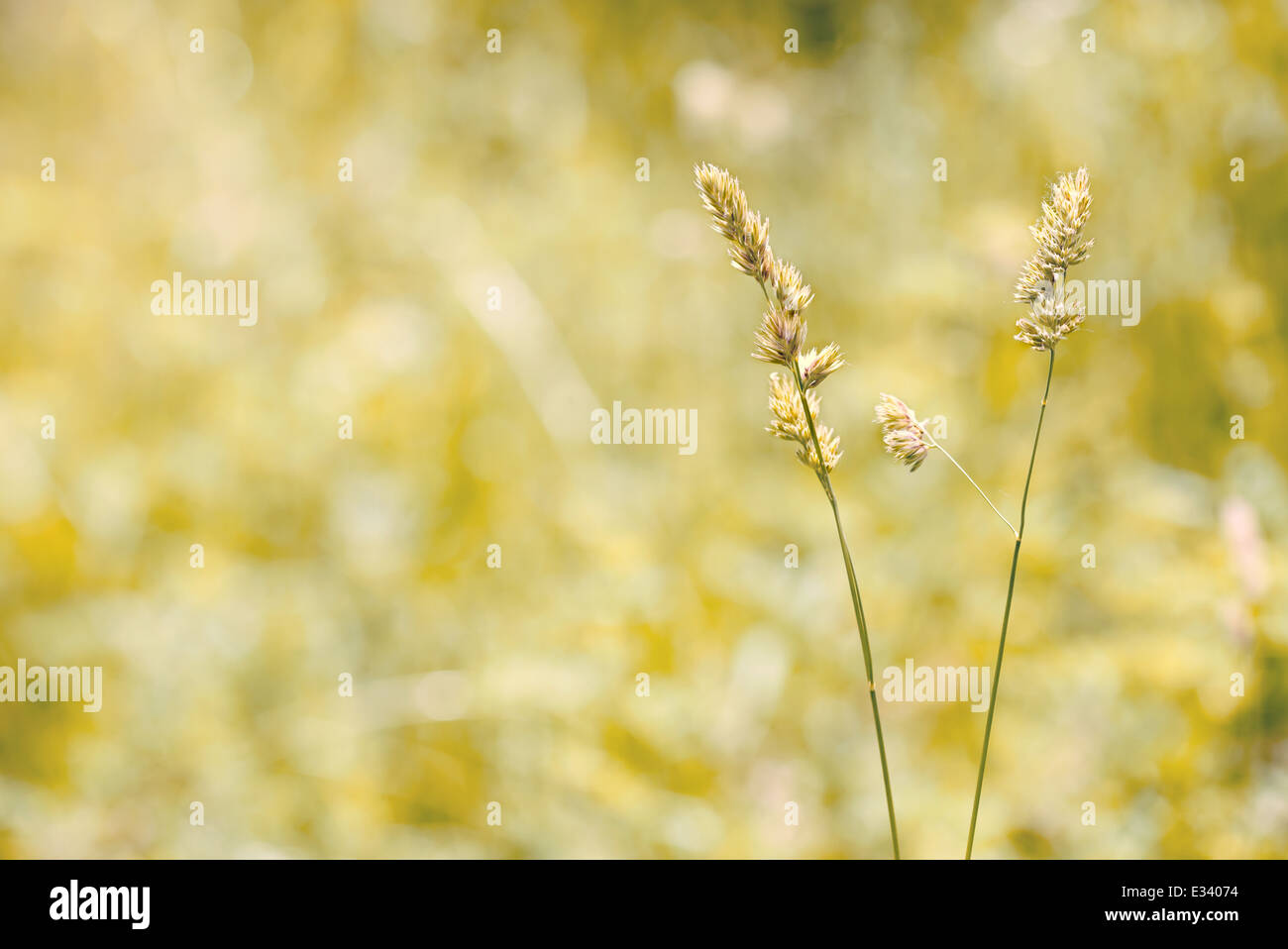 Gramineae herbs moved by the wind in a meadow under the warm spring sun - Stock Image