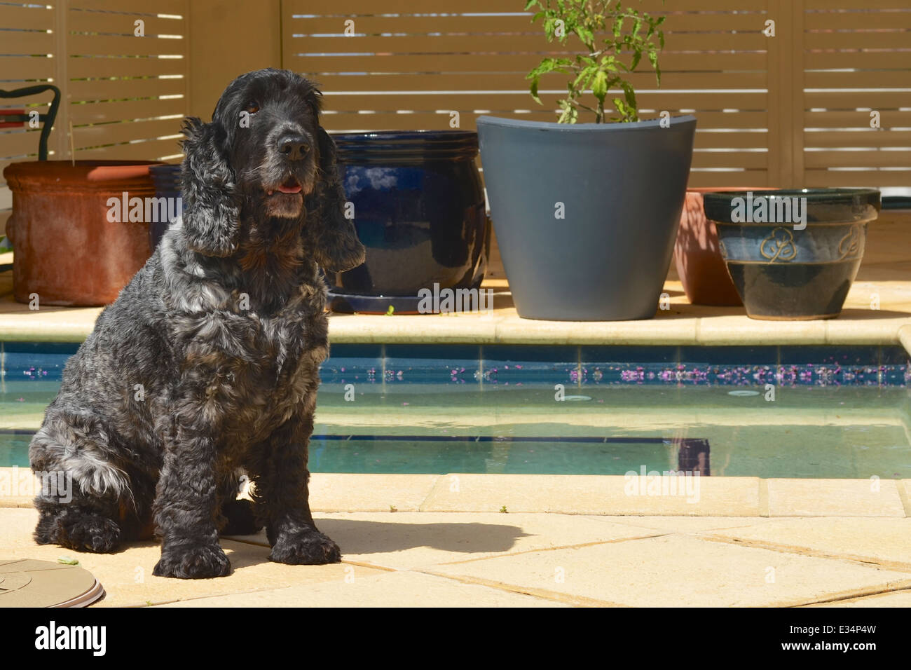 An English cocker spaniel sitting by the swimming pool - Stock Image