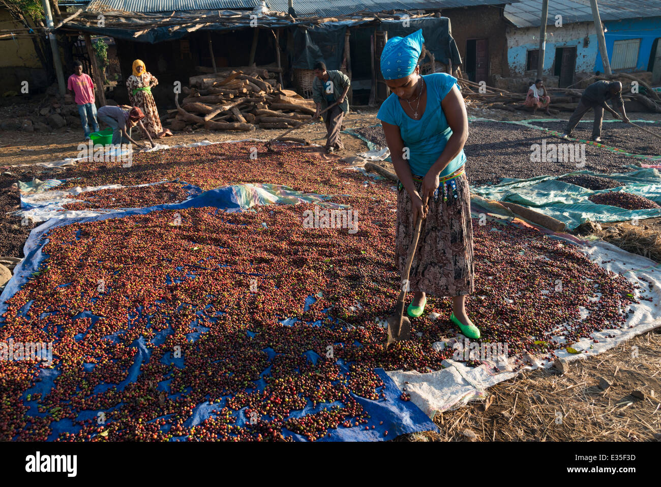 Coffee beans drying in the sun. Afaf. Zege peninsula. Lake Tana. Northern Ethiopia. - Stock Image