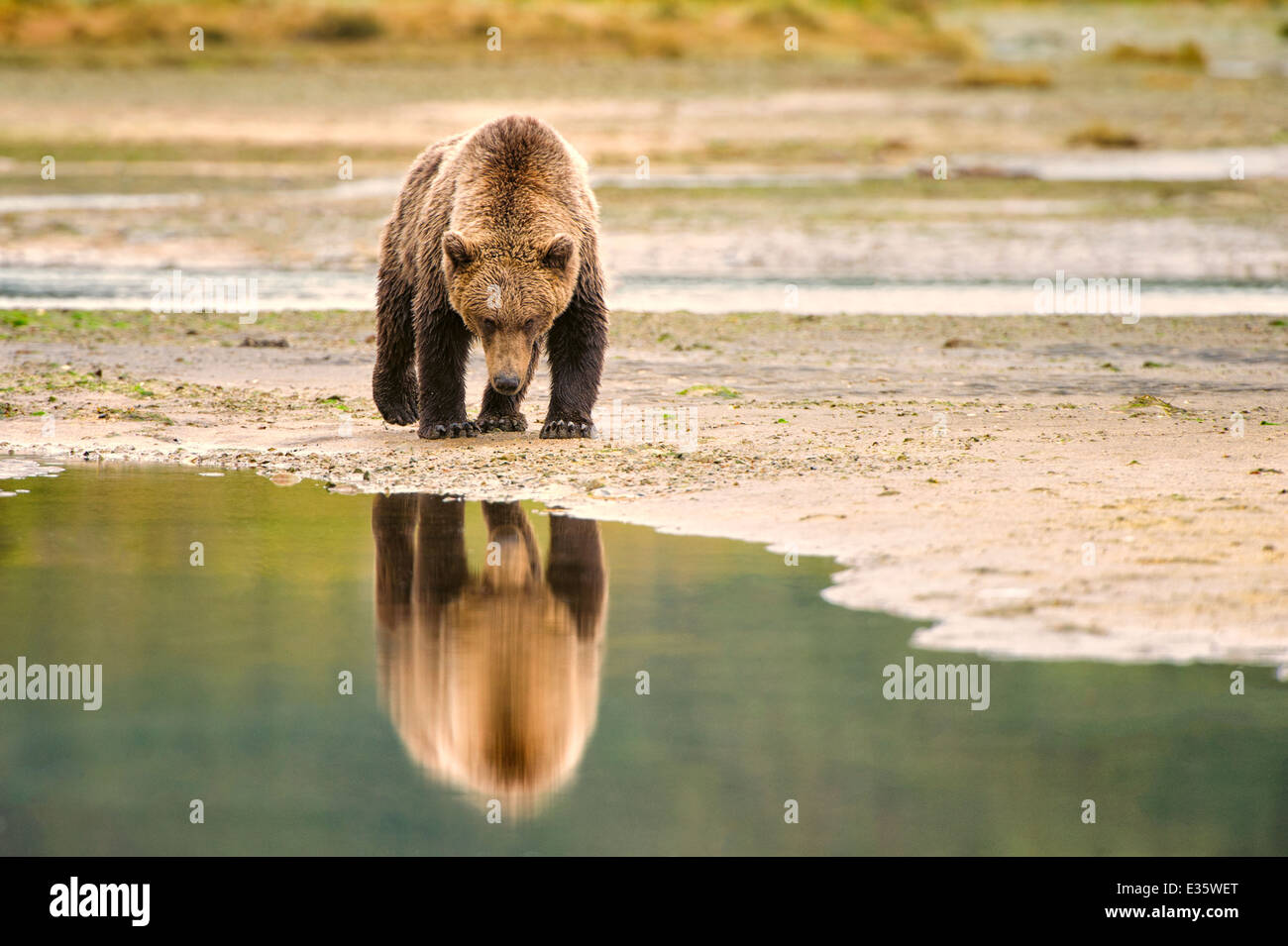 A coastal brown bear / grizzly bear walks a meandering shoreline in search of food scraps in Katmai National Park, Stock Photo