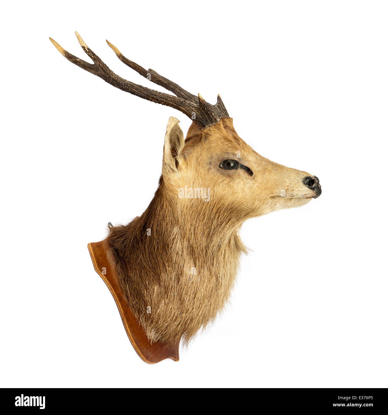 Stag Head Stock Photos Amp Stag Head Stock Images Alamy