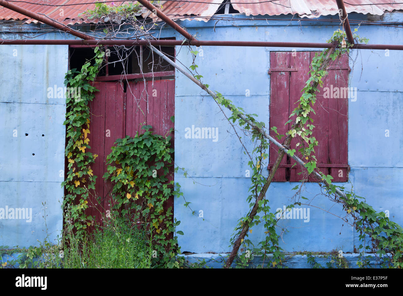 An old blue metal shed with a corrugated roof and red wooden door in Katelios is covered by a creeper. Stock Photo