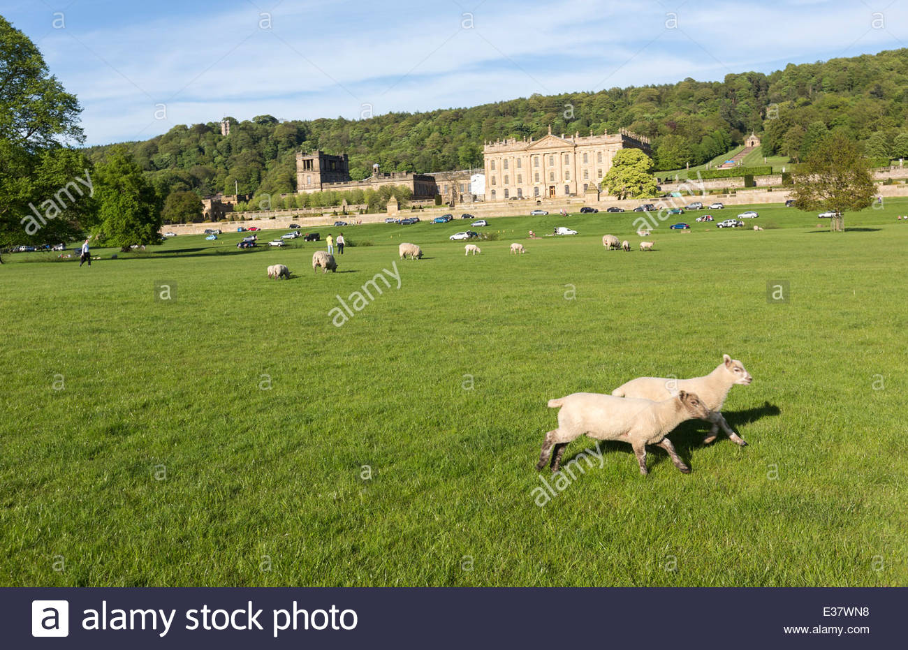 Sheep in the Chatsworth House park - Stock Image