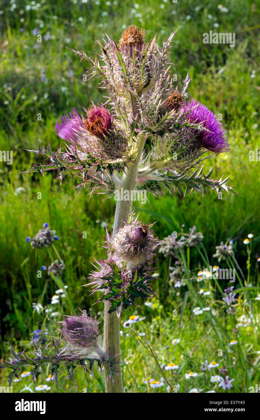 Wild Thistle Weed Purple Flowers Stock Photos Wild Thistle Weed