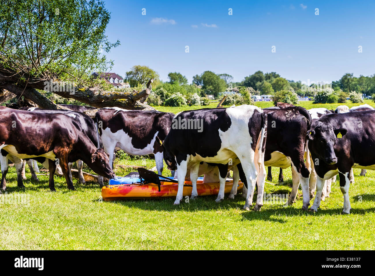 A herd of cows finding two Kayaks very interesting - Stock Image