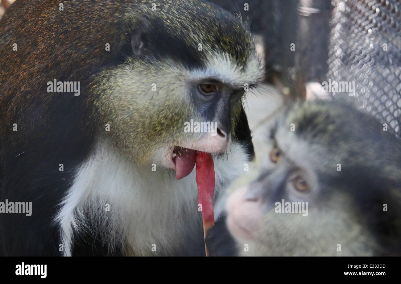 A Monkey Enjoys A Specially Made Ice Lolly At A Zoo In Varna Stock