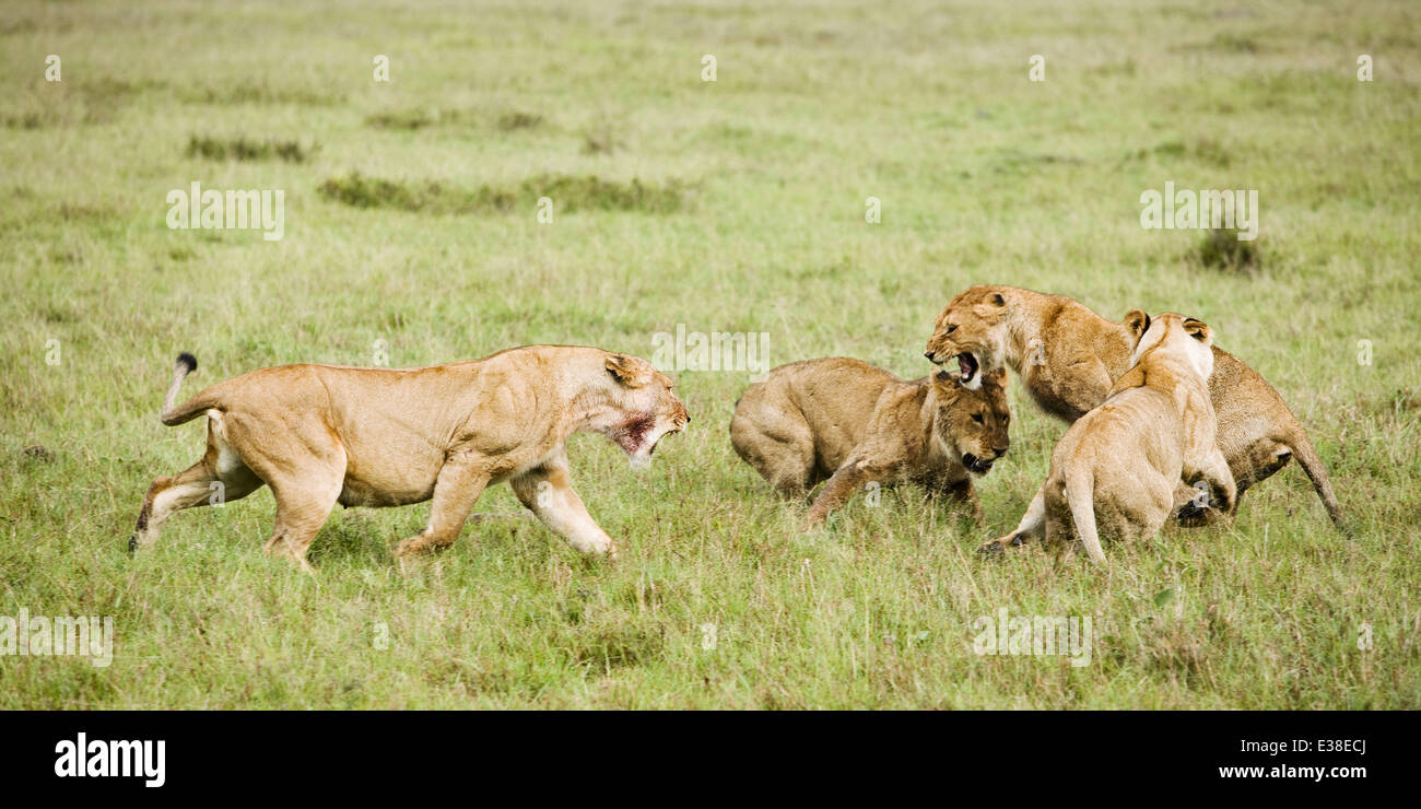 Don't mess with the Lioness. . . The Queen of the Jungle gives a gang of juveniles a lesson in pride. The loutish - Stock Image