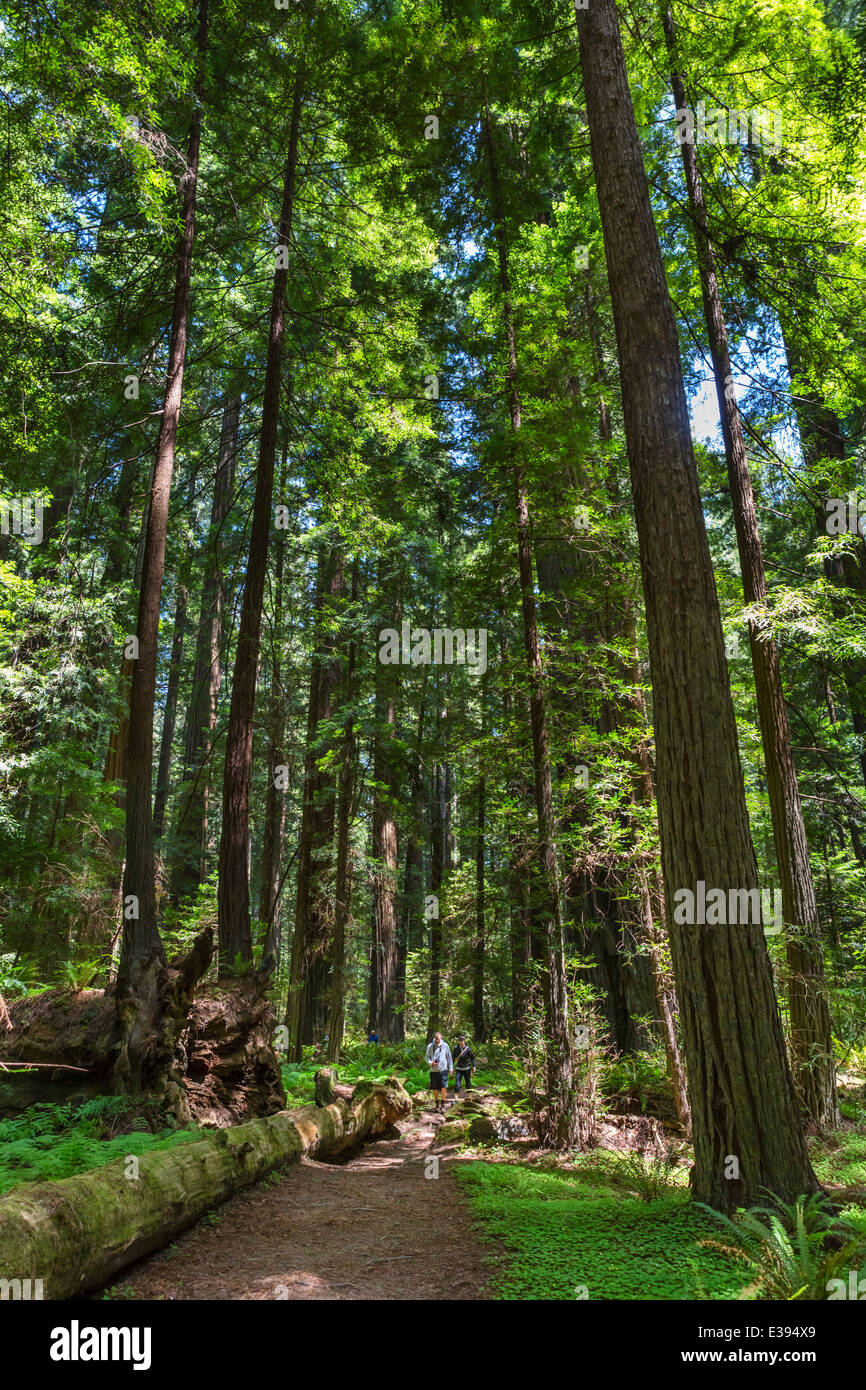 Walkers on a trail in Founders Grove, Avenue of the Giants, Humboldt Redwoods State Park, Northern California, USA - Stock Image