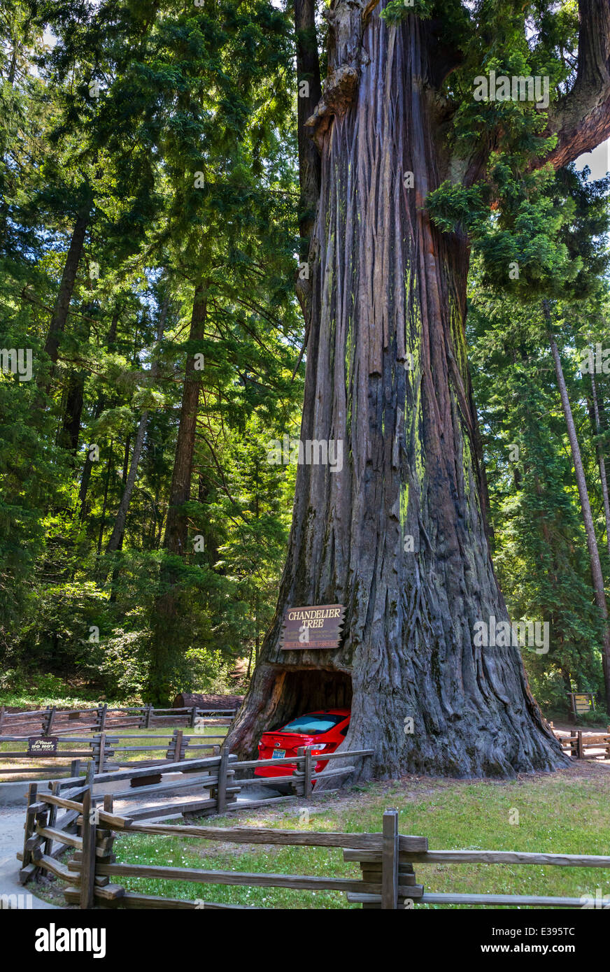 Giant Redwood. Car driving through the Chandelier Drive-thru Tree in Leggett, California Redwoods, Northern California, - Stock Image