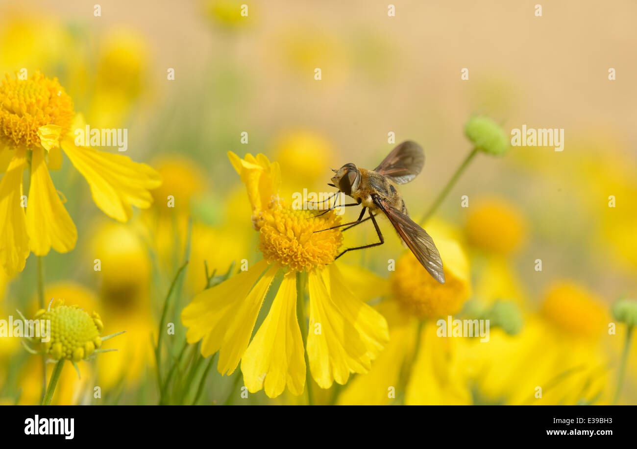 Bitter weed wildflower with Progressive Bee Fly - Stock Image