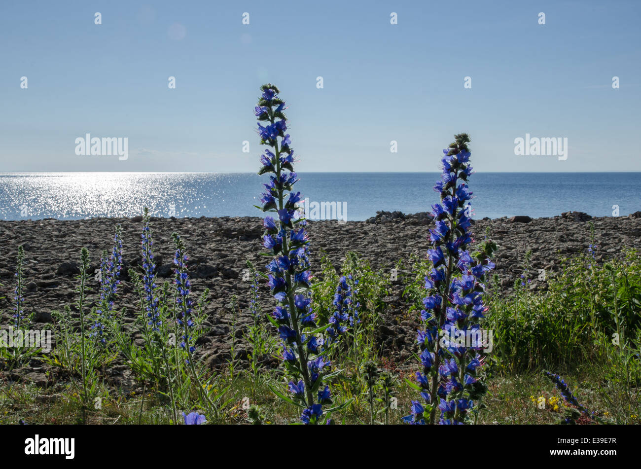 Backlit blueweed flowers by a coast in front of glittering water at the swedish island Oland - Stock Image