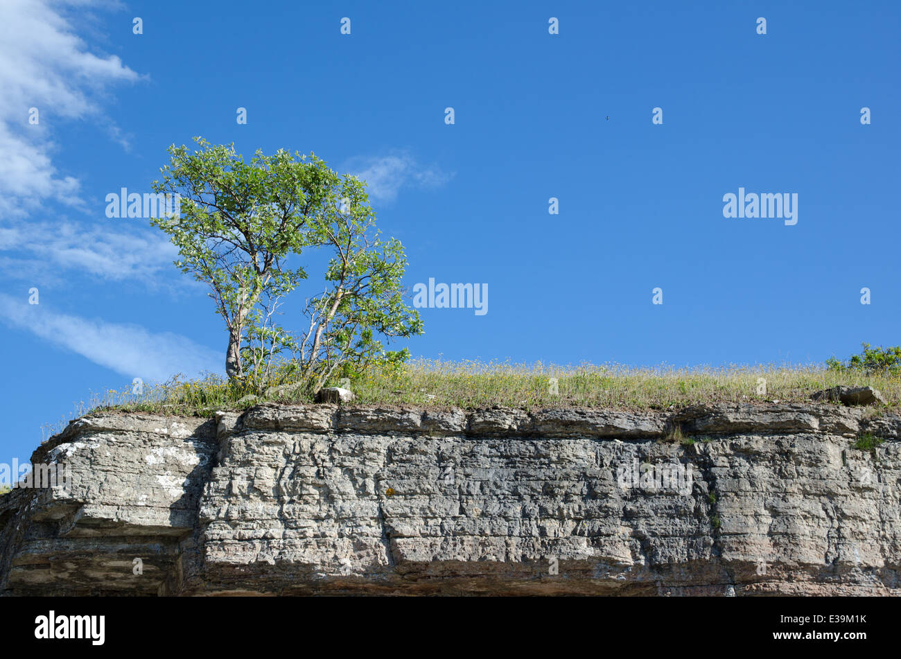 Tree at the frontline of a limestone cliff at the swedish island Oland - Stock Image