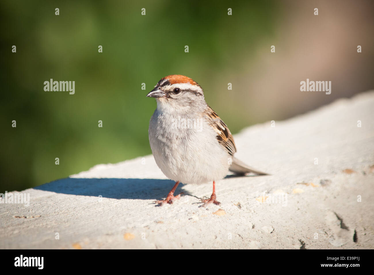 An adult Chipping Sparrow (Spizella passerina) in summer breeding plumage. - Stock Image