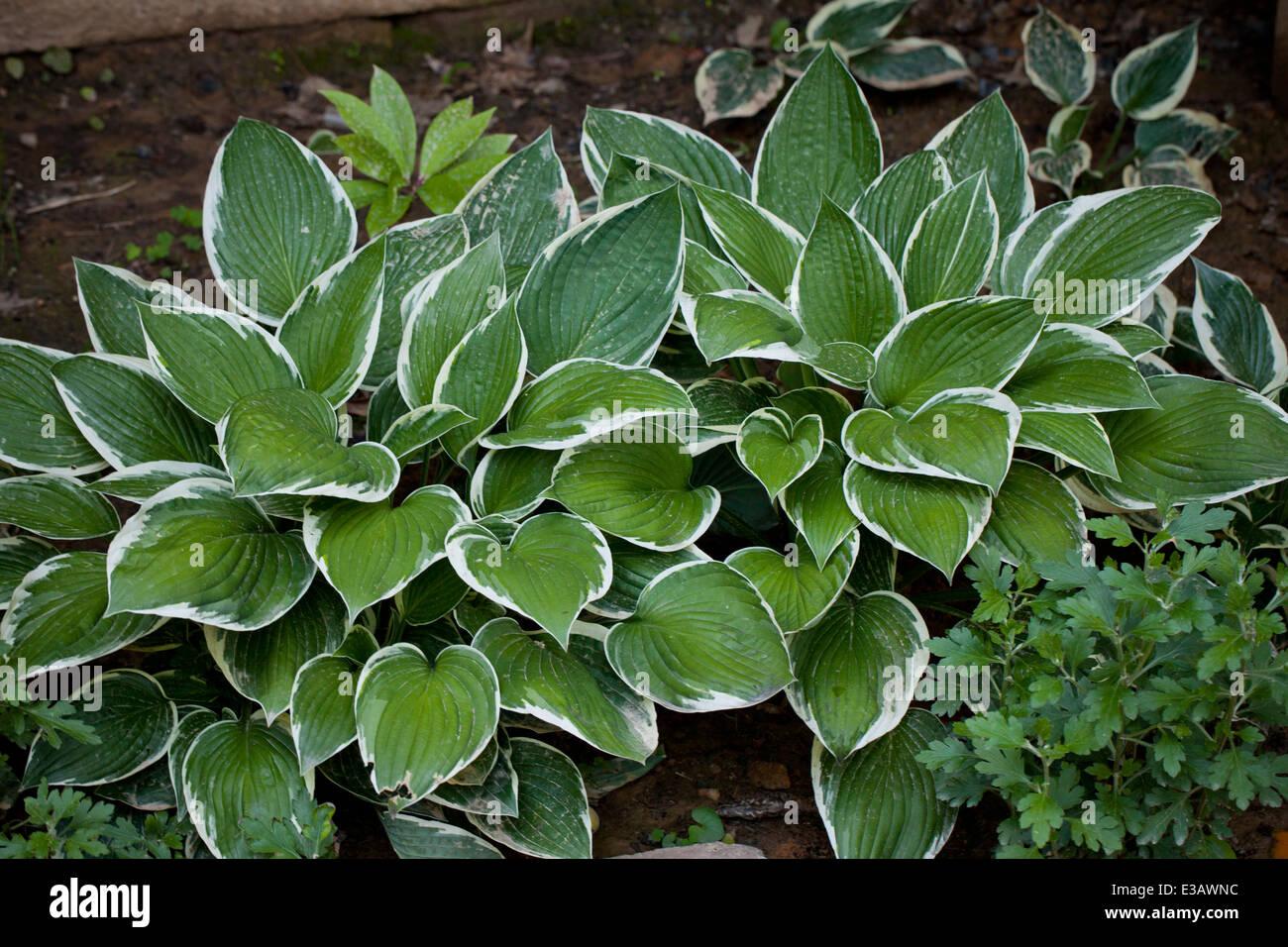 Hosta Plant Under Tree Usa Stock Photo 70925160 Alamy