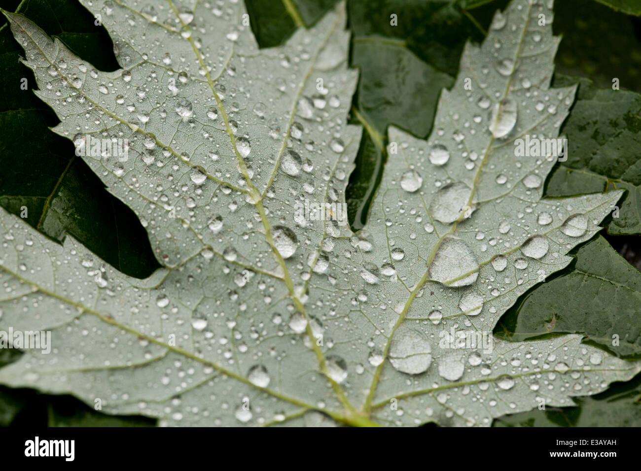 Rain drops on maple leaf - USA - Stock Image