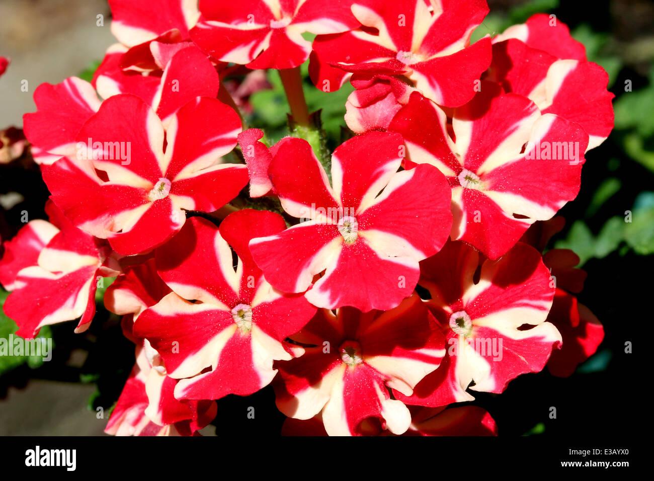 Closeup shot of verbena flower, like nice flower background. - Stock Image
