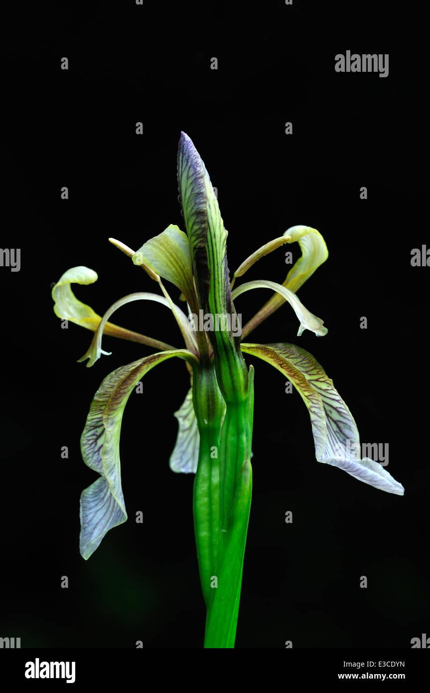 stinking iris foetidissima Iridaceae perennial portrait - Stock Image